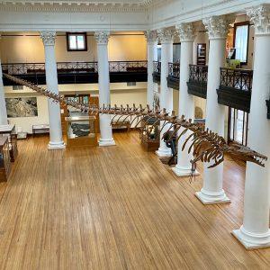 Basilosaurus cetoides skeleton