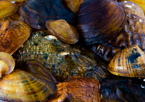 The Freshwater Mussel Exhibit is located on the third floor of the Alabama Museum of Natural History.